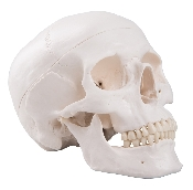An image of Skull - Classic Human Skull Model 3