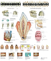 An image of The Teeth Chart - 50x67cm Poster