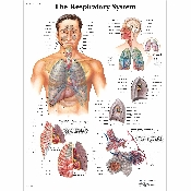 An image of The Respiratory System Chart/ Poster