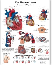 An image of The Human Heart Chart/ Poster